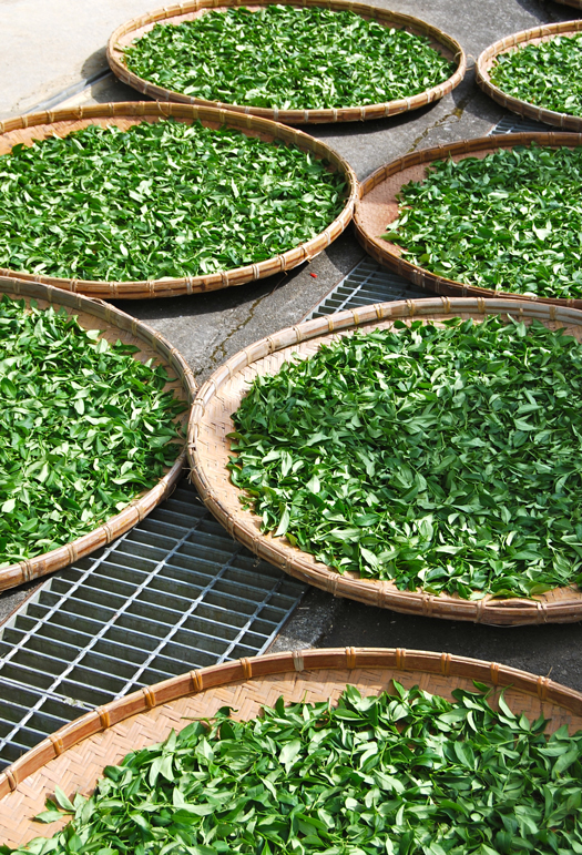 tea-leaves-solar-withering