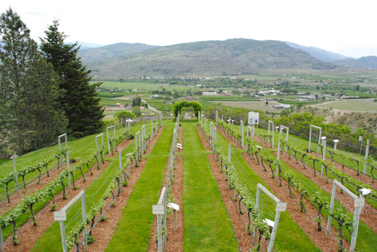 The demonstration vineyard at Tinhorn Creek