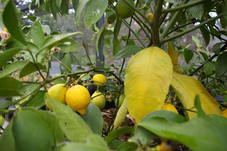 McQuaid's lemons