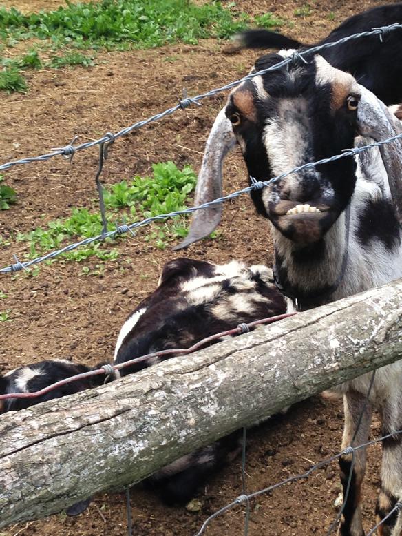 goats on the farm2