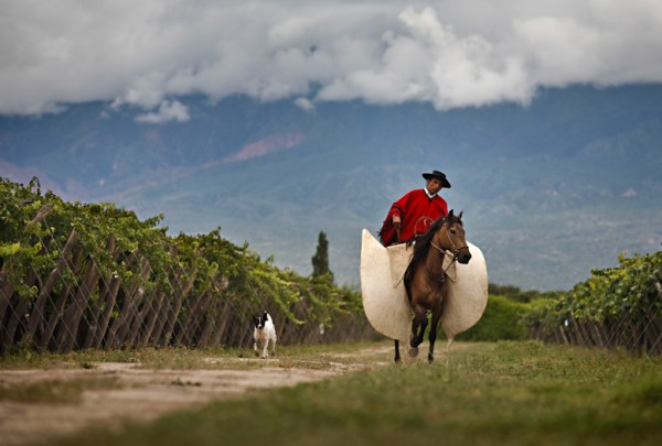 Gaucho between Vineyards