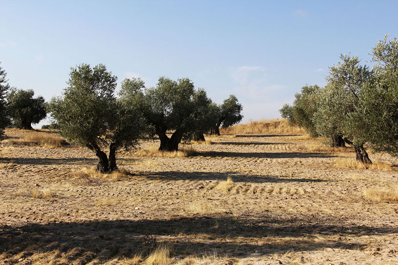 Olive Farm.2