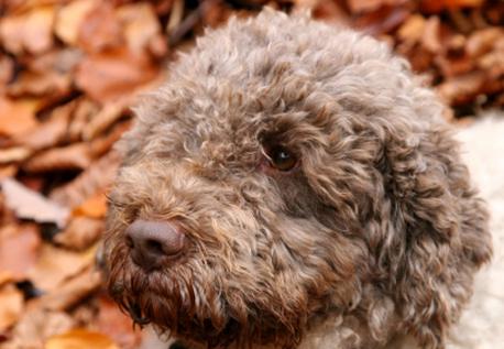 How To Train A Truffle Dog