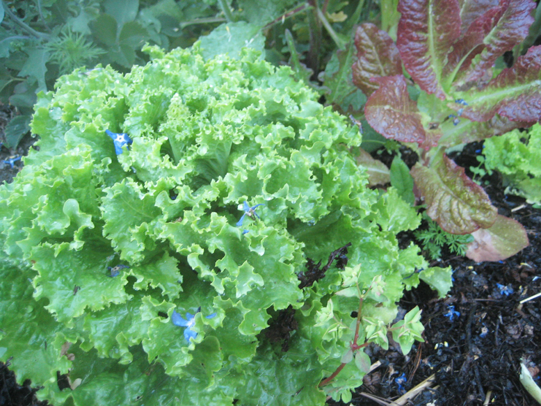 Green-and-Red-Leaf-Lettuce