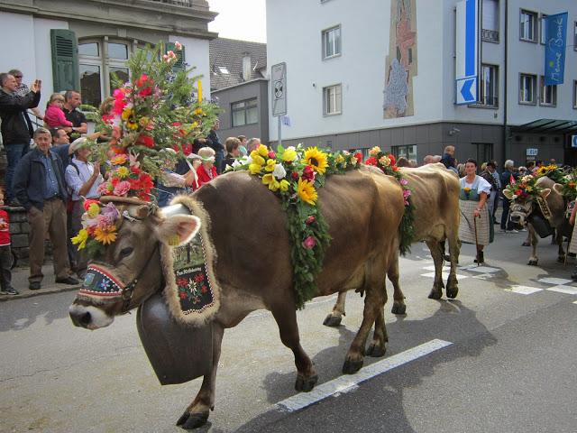 g&p cows 104